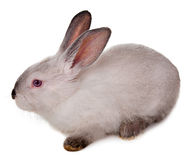 在白色背景隔绝的兔子。 免版税图库摄影