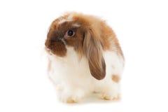 在白色背景隔绝的兔子安哥拉猫 免版税图库摄影
