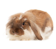 在白色背景隔绝的兔子安哥拉猫 库存照片