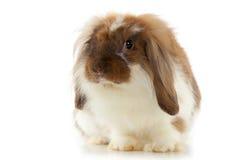 在白色背景隔绝的兔子安哥拉猫 免版税库存图片
