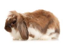 在白色背景隔绝的兔子安哥拉猫 图库摄影