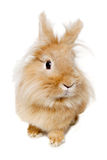 在白色背景隔绝的兔子 库存图片