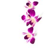 在白色背景隔绝的兰花四朵花 选择聚焦 免版税库存照片
