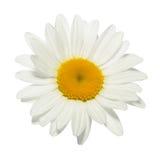 在白色背景隔绝的唯一春黄菊花 免版税库存照片