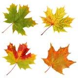 在白色背景隔绝的四片秋天槭树叶子 免版税图库摄影