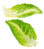 在白色背景隔绝的圆白菜叶子 免版税图库摄影