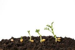 在白色背景隔绝的土壤的鸡豆萌芽 免版税库存照片