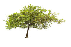 在白色背景隔绝的大树 免版税库存图片
