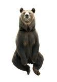 在白色背景隔绝的大棕熊,食肉动物 库存图片
