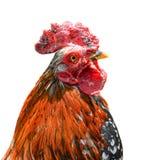 在白色背景隔绝的大美丽的公雄鸡 打鸣在白色背景前面的公鸡 动物农场横向许多sheeeps夏天 免版税图库摄影