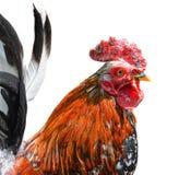 在白色背景隔绝的大美丽的公雄鸡 打鸣在白色背景前面的公鸡 动物农场横向许多sheeeps夏天 免版税库存照片