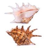 在白色背景隔绝的大美丽的贝壳 贝壳双方视图  图库摄影