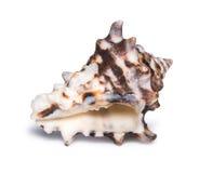 在白色背景隔绝的大美丽的贝壳 库存照片