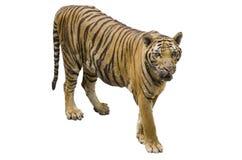 在白色背景隔绝的大老虎 免版税图库摄影