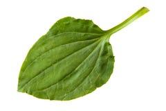 在白色背景隔绝的大蕉绿色叶子 库存图片