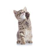在白色背景隔绝的嬉戏的苏格兰平直的小猫开会 免版税库存照片