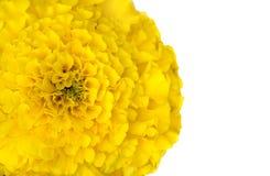 在白色背景隔绝的宏观射击黄色花 库存图片
