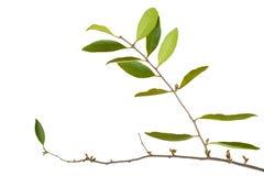 在白色背景隔绝的寄生植物 库存图片