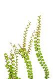 在白色背景隔绝的小爬行物植物 免版税图库摄影
