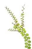 在白色背景隔绝的小爬行物植物 免版税库存图片