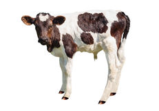在白色背景隔绝的小牛 库存图片