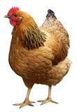在白色背景隔绝的布朗母鸡 库存图片