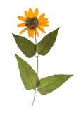 在白色背景隔绝的干和被按的春天野花 黄色花干燥标本集  免版税库存照片