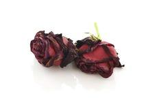 在白色背景隔绝的干玫瑰 免版税库存图片