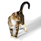 在白色背景隔绝的幼小布朗平纹小猫猫 免版税图库摄影