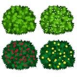 在白色背景隔绝的开花的绿色灌木 免版税库存图片