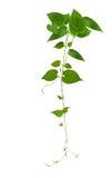 在白色背景隔绝的心形的绿色叶子密林藤,道路 免版税库存图片