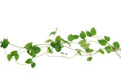 在白色背景隔绝的心形的绿色叶子藤,夹子 库存照片