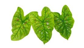 在白色背景隔绝的心形的绿色热带叶子植物叶子,道路 免版税库存照片