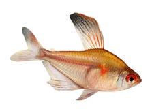 在白色背景隔绝的心脏出血四Hyphessobrycon Eryhrostigma淡水水族馆鱼 库存图片