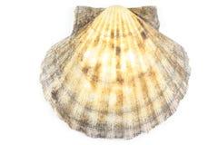 在白色背景隔绝的扇贝壳 库存图片