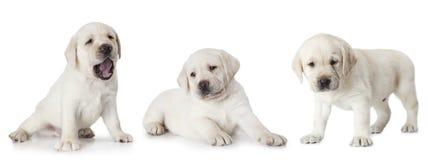 在白色背景隔绝的拉布拉多小狗 库存照片