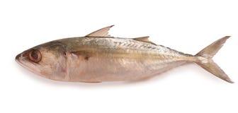 在白色背景隔绝的新鲜的印地安鲭鱼鱼 库存照片
