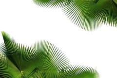 棕榈树叶子 免版税库存照片