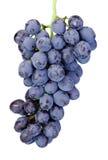 在白色背景隔绝的新鲜的湿蓝色葡萄 免版税库存照片