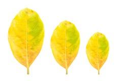在白色背景隔绝的新鲜的黄色叶子 库存照片
