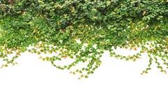 在白色背景隔绝的新鲜的绿色常春藤 庭院装饰 免版税库存照片