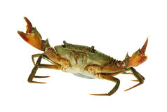 在白色背景隔绝的新鲜的活螃蟹爪 免版税库存照片