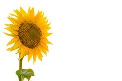 在白色背景隔绝的明亮的向日葵, yo的自由空间 库存照片