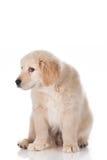 在白色背景隔绝的有罪金毛猎犬小狗 库存图片