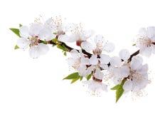 在白色背景隔绝的杏子花 图库摄影