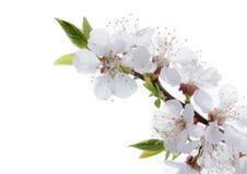 在白色背景隔绝的杏子花 免版税库存照片