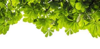 在白色背景隔绝的栗树的绿色叶子 免版税库存照片