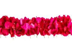 在白色背景隔绝的桃红色九重葛瓣 图库摄影