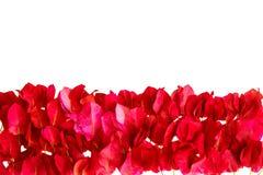 在白色背景隔绝的桃红色九重葛瓣 库存照片