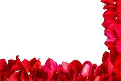 在白色背景隔绝的桃红色九重葛瓣 库存图片